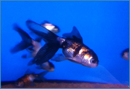 December coldwater fish of the month: Tri Colour Panda